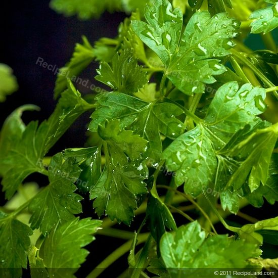 Cilantro close-up